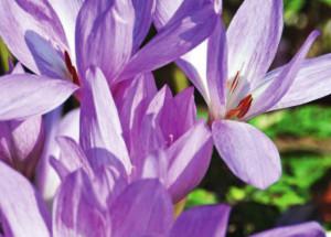 Безвременник - цветы вне времени