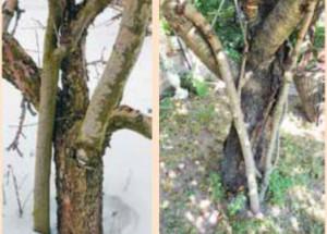 Трещина в дереве -