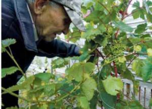Виноград в средней полосе России от Ивана Дмитриевича
