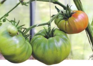 6 основных причин которые влияют на урожай томатов