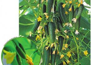 Пучковые огурцы - сорта, выращивание и уход