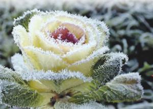 Декоративная капуста расцветает в морозы