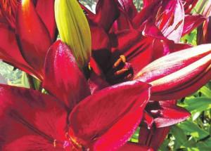 Совет как размножить лилии чешуйками