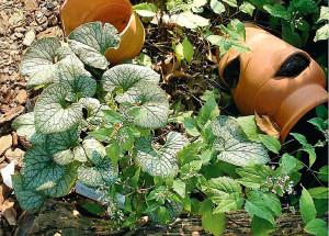 Бруннера - сорта, уход и размножение