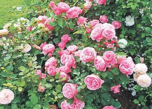 Розы из серии сортов Айс