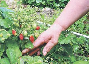 Земклуника - советы по выращиванию