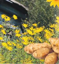Топинамбур убил двух зайцев