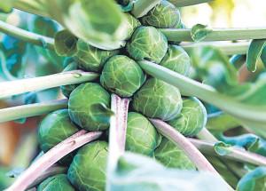 Что же из себя представляет брюссельская капуста?