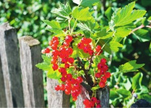 Уход за ягодными растениями после урожая
