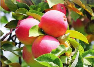 Легендарный и изменчивый сорт яблок Апорт