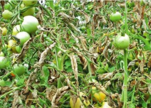 Как  вылечить фитофтороз у помидор