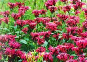Сладость сада - цветок монарда
