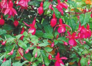 Цветок фуксия - выращивание, уход, размножение