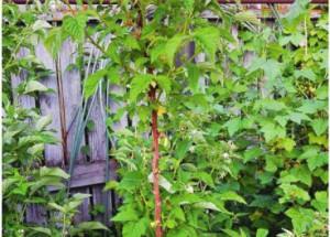 Чудо-дерево... малиновое (штамбовая малина)