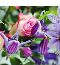 Уживется ли роза с клематисом?