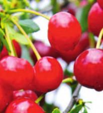 Выращивание черешни - совет от агронома