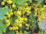 Необычные сорта малины, смородины и крыжовника