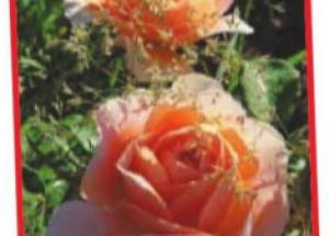 Абрикосовые розы