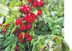 Кизил - красный аптекарь, выращивание, посадка и уход