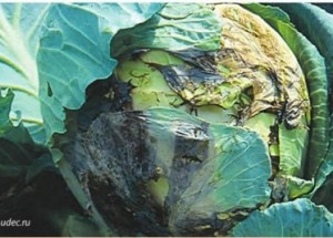 Как спасти, сохранить капусту от болезней