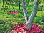 Куда девать опавшие яблоки?