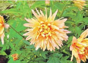 Хризантемы, краткое описание
