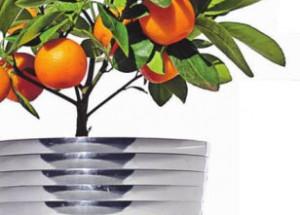 Мандариновое дерево уход в домашних условиях