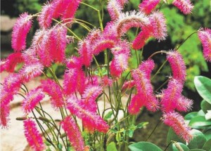 Кровохлебка (Sanguisorba) - заживляет раны, оживляет сад