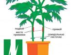 Томат растет на двух корнях