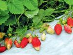 Как правильно сажать землянику (клубнику)