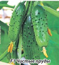 Огурцы: салатные и маринадные