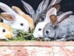 Как выращивать кроликов в домашних условиях