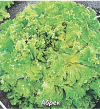 Как садить салат?