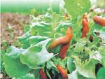 Как гуманно бороться со слизнями в огороде