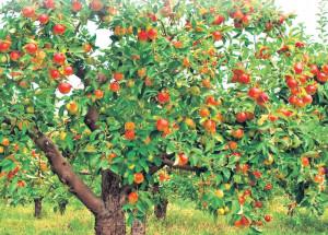 Садоводы паникуют – что творится с яблонями?