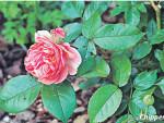 Самые романтичные Английские розы сада