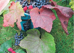 Виноград – в каждый сад