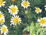 Овощная хризантема – женьшеню замена