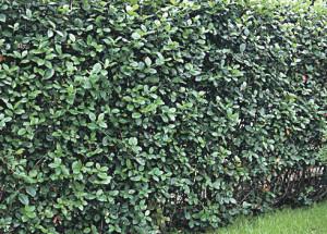 Арония - рябина черноплодная - что это такое?