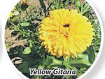 Календула - цветок с ноготок