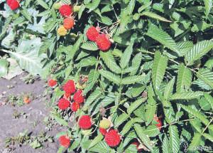 Что за ягодка земляничная малина?