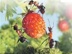Борьба с муравьями - из врагов в союзники?