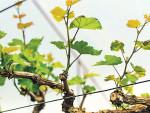 Чем и как подкармливать виноград