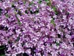 Тимьяны в саду - виды, уход, размножение