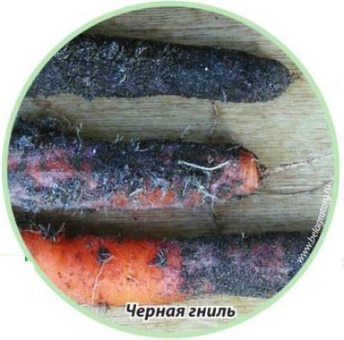 черная гниль (альтернариоз)