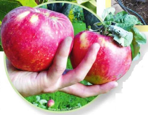 сорт яблок Апорт