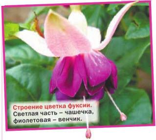 Строение цветка фуксии