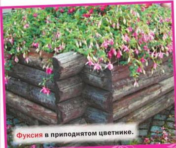 Фуксия в приподнятом цветнике