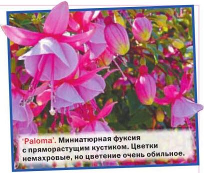 Paloma Миниатюрная фуксия с пряморастущим кустиком