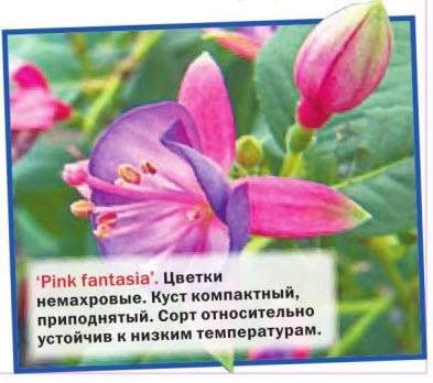 Pink fantasia цветки немахровые, куст компактный. Сорт устойчив к низким температурам
